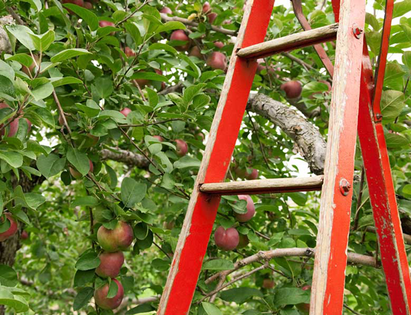 Step ladder in apple orchard